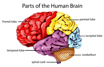 Lobes of Brain